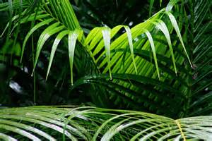 Palm Fronds Leaves