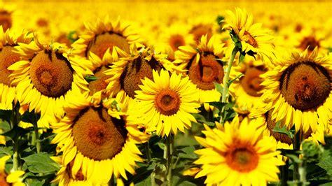 wallpaper sunflowers   wallpaper  flowers field