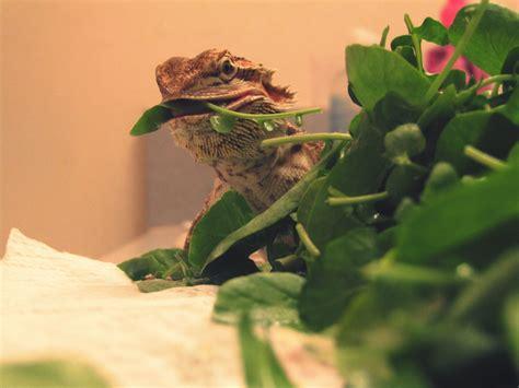 feeding bearded dragons leafy green vegetables