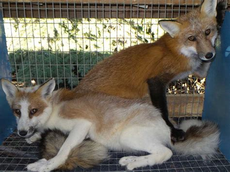 fox colors fox fur colors save a fox