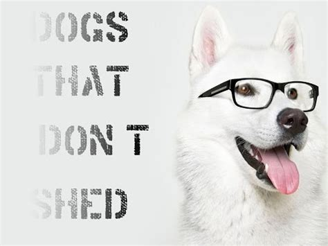 dogs that dont shed or smell 10 least smelly breeds funnydog tv