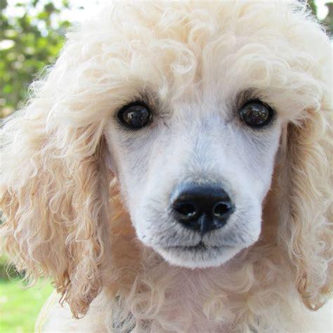 Best 25+ Poodle Grooming Ideas On Pinterest