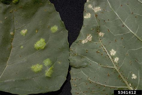 rust disease fungus garden leaves plant diseases treatment fungal vegetables albugo problems fruit kale colorado gardeningknowhow blister hydroponics leafy controlling