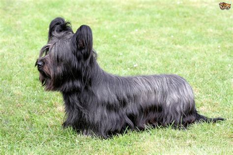 No Shedding Dog Breed by Skye Terrier Dog Breed Information Buying Advice Photos