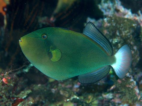 pinktail triggerfish wikipedia