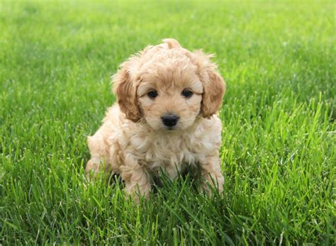 Puppies For Sale In Wisconsin