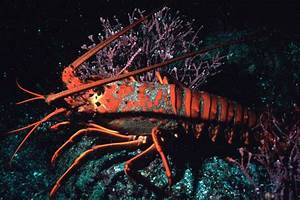 Spiny lobster - Simple English Wikipedia, the free ...