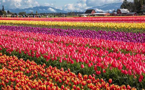 tulip skagit festival valley washington places vernon april mount hias cantik tanaman beragam yang travelandleisure travel hd attractions bunga dreamy