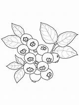 Blueberries Coloring Pages Nature sketch template