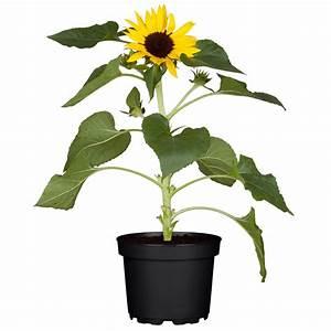 Sonnenblume Im Topf : sonnenblume im topf sonnenblume im zinktopf h bsche pflanze in sonnenblume im topf rosenbote ~ Orissabook.com Haus und Dekorationen