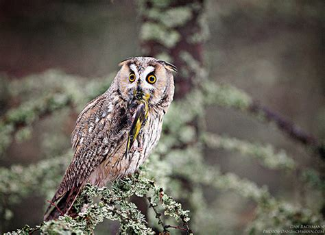 what do owls eat long eared owl eating flickr photo sharing