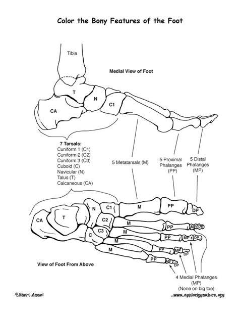 anatomy of a bone coloring anatomy bone coloring pages coloring page