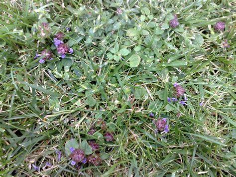 unkraut kleine weiße blüten geliebtes unkraut prunella vulgaris die kleine braunelle vegetation daheim