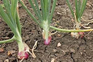 Do Onions Grow Under The Ground Or Above