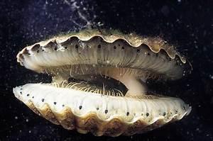 Open-Mouthed Bivalvia - Sea Mollusk Image