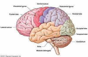 Brain Science  What U2019s The Difference Between The Left And