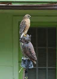 owl or crow decoys to deter hawks