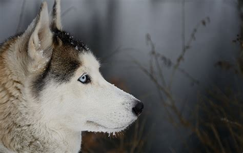 picture husky dogs animal staring