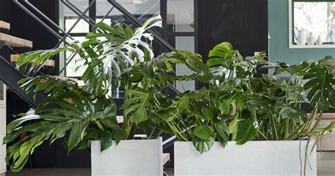monstera july houseplant   month flower council