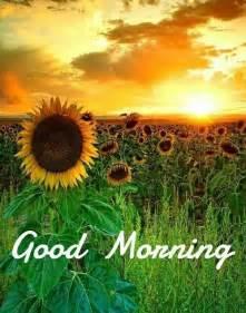 Beautiful Good Morning Sunflowers