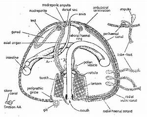 The Digestive System And Its Echinodermata Phylum
