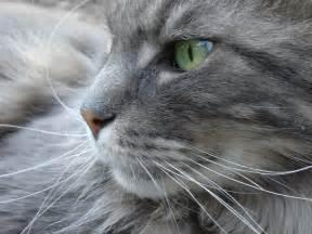 gray cats warriorcats