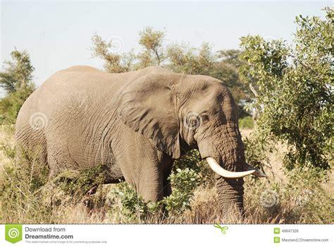 Elephant Stock Photo  Image 49847326