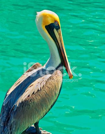 colorful pelican stock  freeimagescom