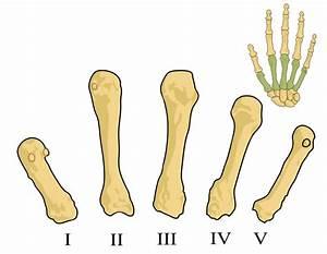 File:Metacarpals numbered-en (left hand).svg - Wikimedia ...