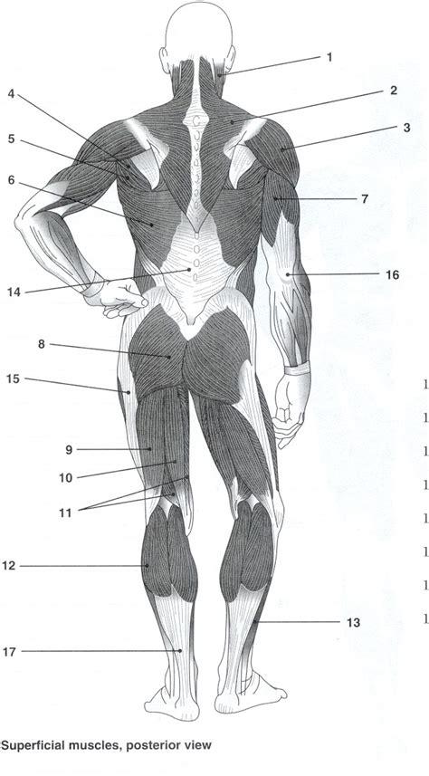 Human Muscle Labeling Worksheet Cultuainfo