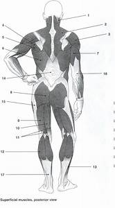 Muscle Worksheets For Anatomy The Best Worksheets Image Collection