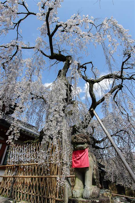 weeping cherry tree losing leaves raina s japan travel journal nara cherry blossom report