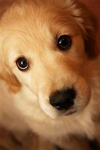 Look at, Cute puppies and Retriever puppies on Pinterest