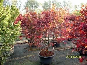 Ahorn Rote Blätter : japanische ahorn baumschule pflanzen gro e pflanzen und b ume ~ Eleganceandgraceweddings.com Haus und Dekorationen