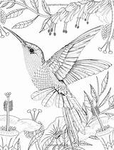 Coloring Pages Bird Sheets Adult Amazon Warbler Hummingbird Eared Birds Hummingbirds Colouring Dibujos Drawing Colibri Books Daisy Fletcher Pattern Libro sketch template