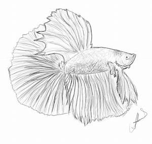 Betta Fish Pencil Drawings