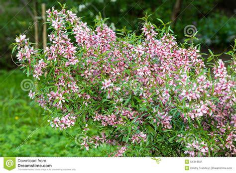 rosa blühender strauch rosa bl 252 hender strauch stockfoto bild 54344551