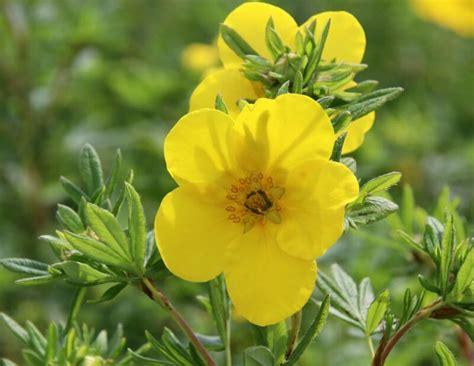 Potentilla fruticosa 'Goldfinger' Parastā klinšrozīte ...