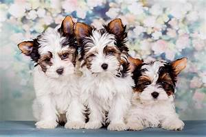 Best Quality Biewer Puppies For Sale November 2018