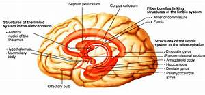 Limbic System Function