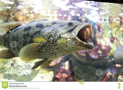 grouper subfamily fish groupers