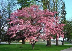 Cornus Florida Rubra : cornus florida rubra pink flowering dogwood southern 25 seeds ornamental ebay ~ Frokenaadalensverden.com Haus und Dekorationen
