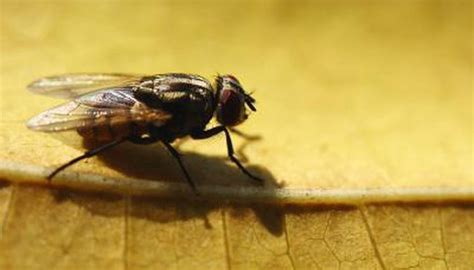 how does a house fly live the mating habits of the common housefly animals me