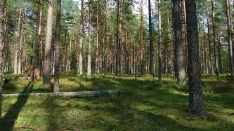 white pine trees file pine forest jpg wikimedia commons
