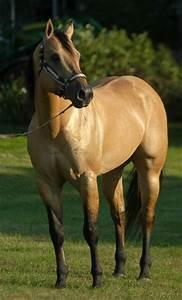 Buckskin-dun quarter horse stallion - Zans Tyree Drifter ...