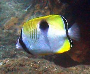 Chaetodon unimaculatus. kikakapu. teardrop butterflyfish ...