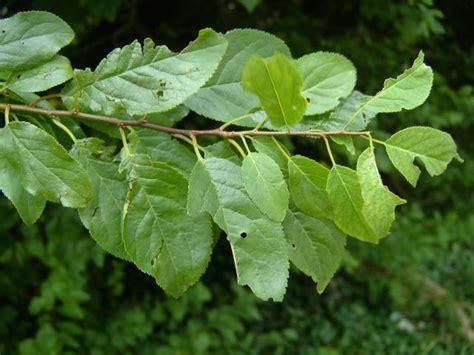 leaf plum tree cherry plum tree leaves bing images