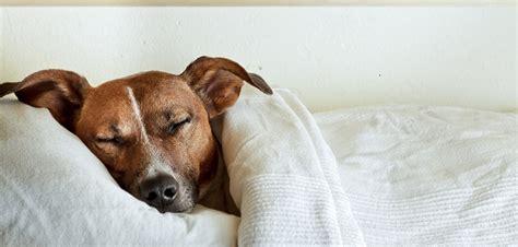 anaemie blutarmut beim hund ursachen symptome behandlung