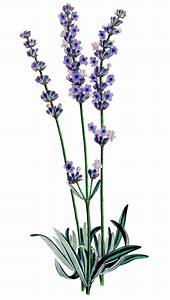 Vintage Stock Image – Lavender | Clipart Panda - Free ...