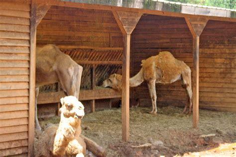A Fan Of Camel Milk Struggles To Start A Drome-dairy-wsj